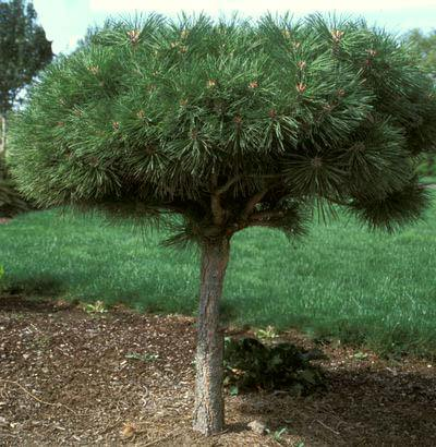 Thumbs upload catalog hvoya pinus nigra brepo thumb 255 255