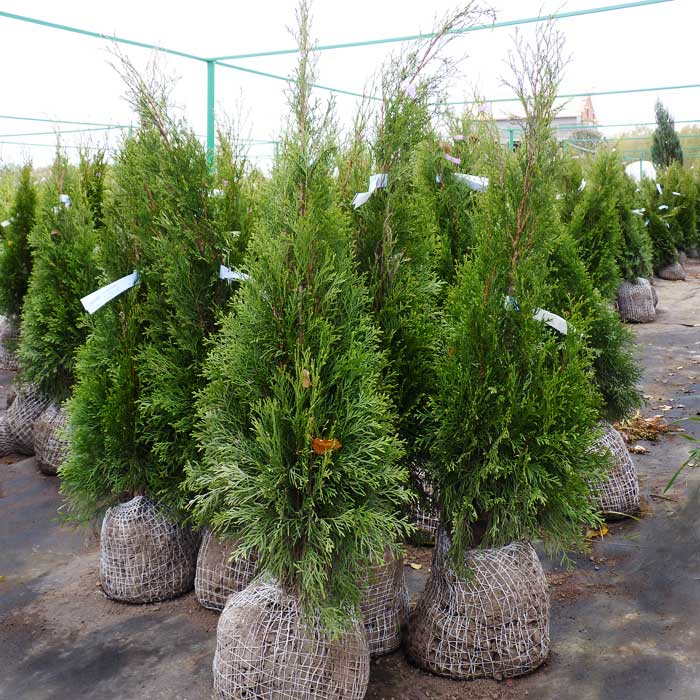 Thumbs upload catalog hvoya thuja smaragd 3 thumb 255 255 noscale