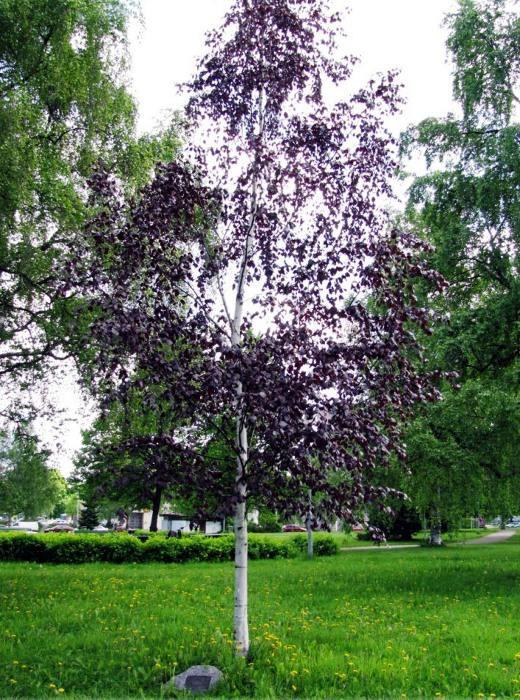 Береза повислая пурпуреа betula pendula