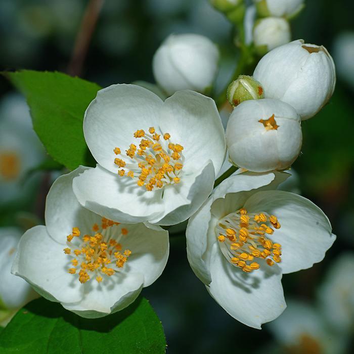 жасмин чубушник