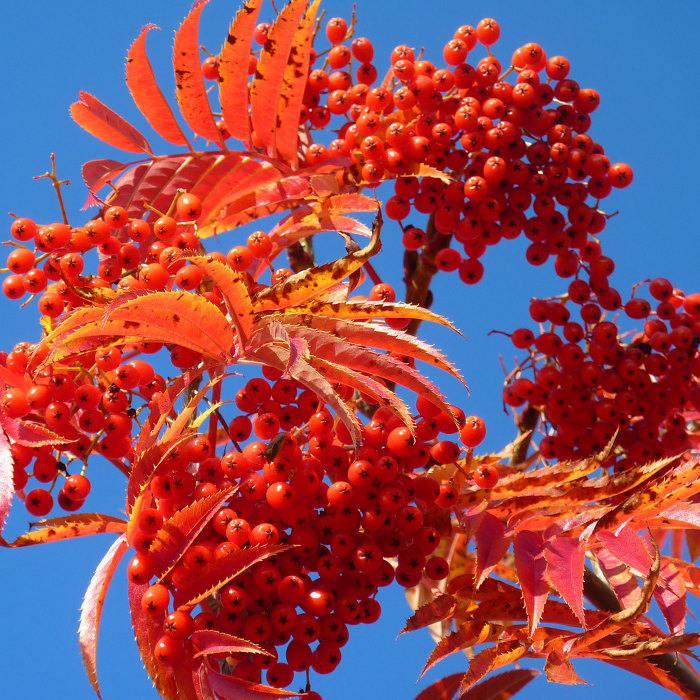 Картинки дерево рябины осенью