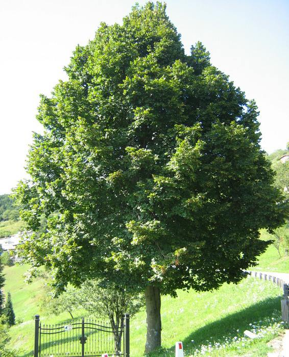 https://www.uzhniy.ru/upload/catalog/listva/Tilia-platyphyllos-Favorit.jpg