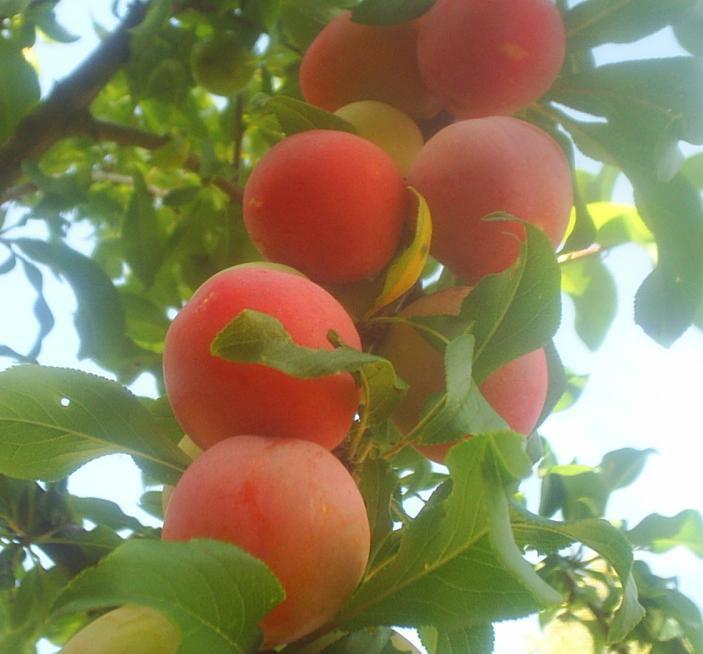 Персиковая