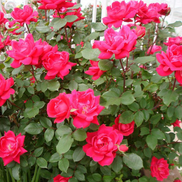 "Роза  ""Дабл Нокаут "" (Double Knock Out) - почвопокровная роза."