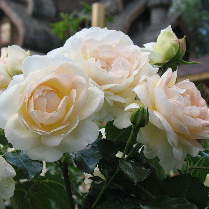 Роза мария