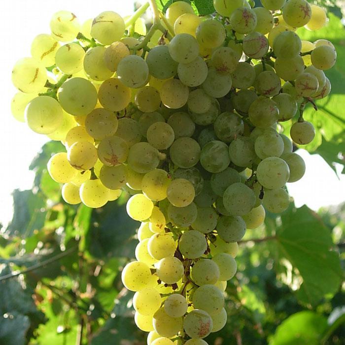 имя клавдия виноград браза сорта фото отзывы корпусов