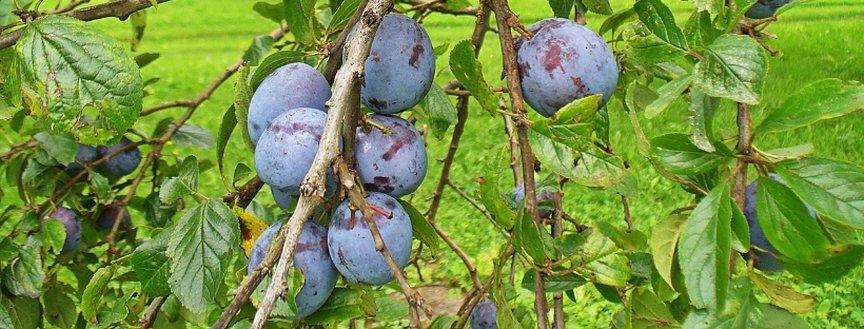 Плоды сливы на дереве