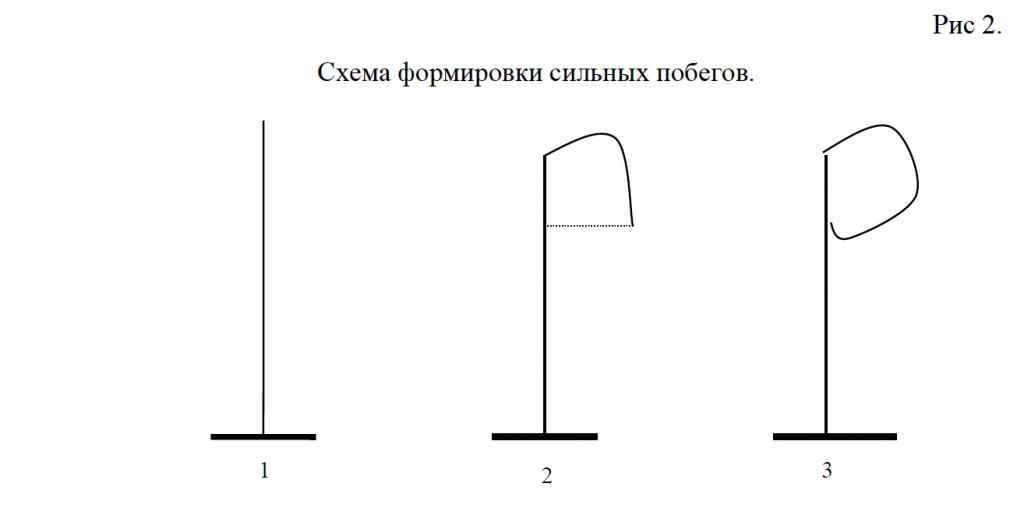 Схема формировки сильных побегов Абрикоса