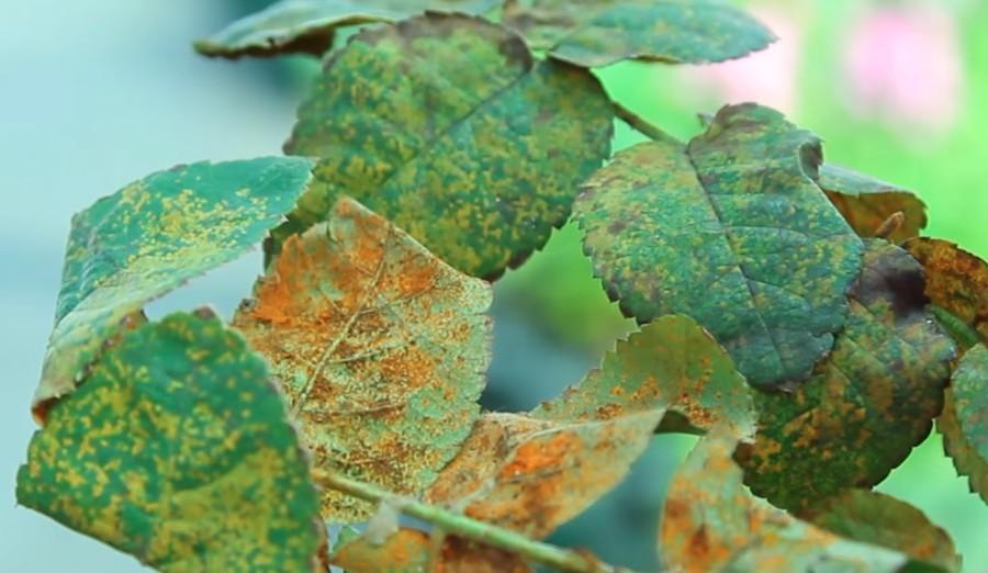 Ржавчина на листьях розы