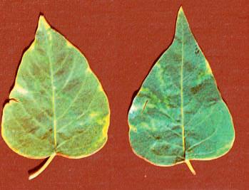 пятна на листьях сирени