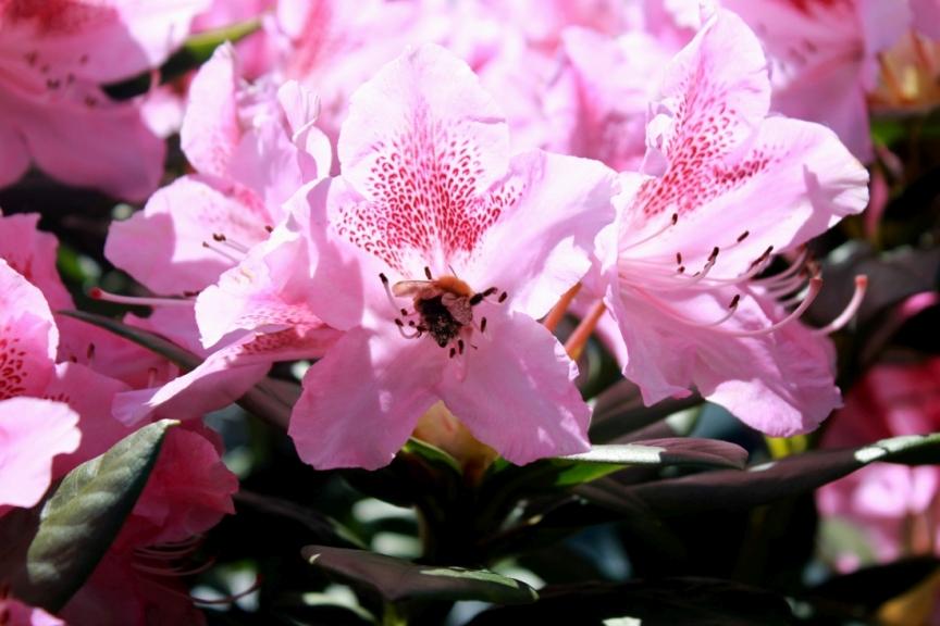 Рододендрон Космополитен цветущий