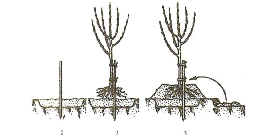 Когда сажать плодовые деревья весной или осенью