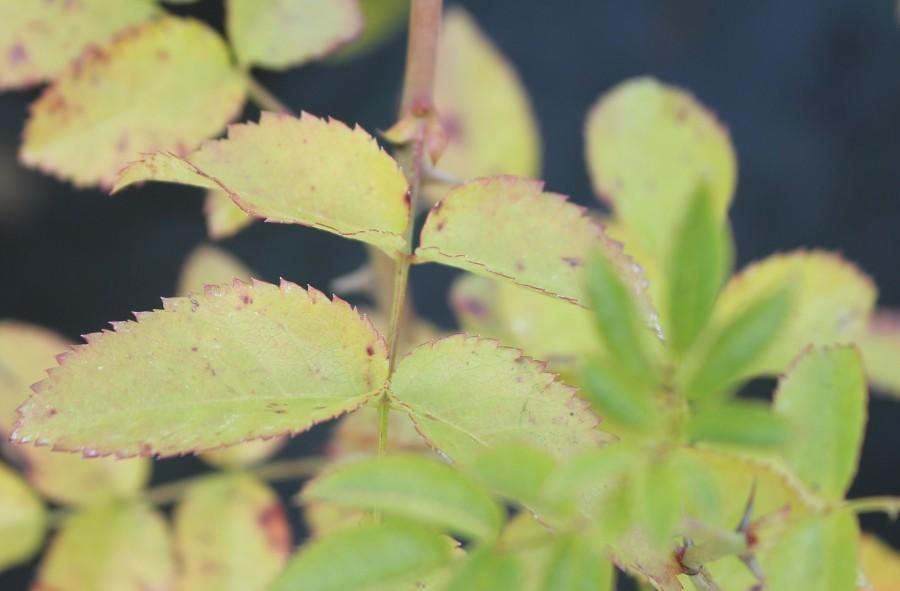 Септориоз на листьях розы.