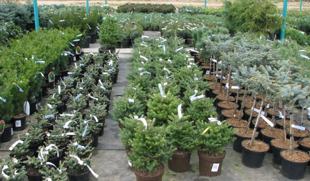 Хвойные растения: солитерные и групповые посадки в современном саду