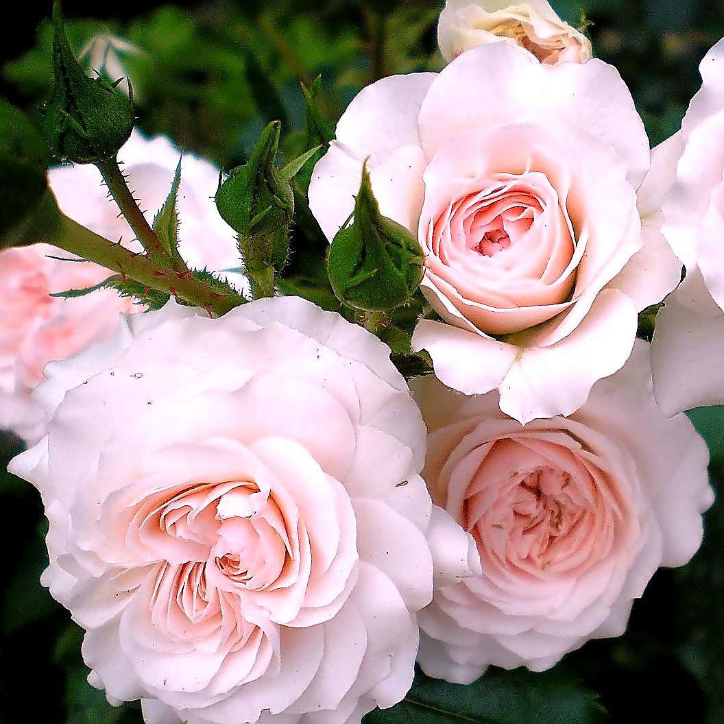 La elección correcta de las plántulas de rosas: a qué detalles debe prestar atención