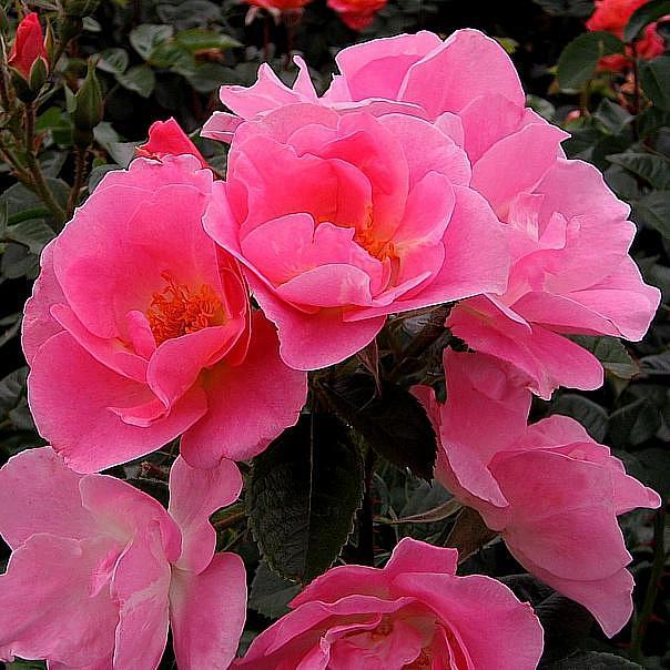 Купить розу робуста в спб