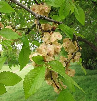 Вяз малый (Ulmus minor)