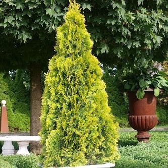 Туя западная Голден Смарагд (Golden Smaragd) купить по цене 1.610,00 руб. в Москве в питомнике растений Южный