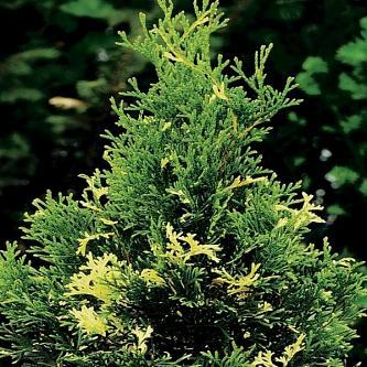 Туя западная Вайт Смарагд (White Smaragd) купить по цене 1.130,00 руб. в Москве в питомнике растений Южный