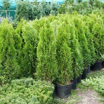 Туя западная Смарагд (Smaragd) купить по цене 1.050,00 руб. в Москве в питомнике растений Южный