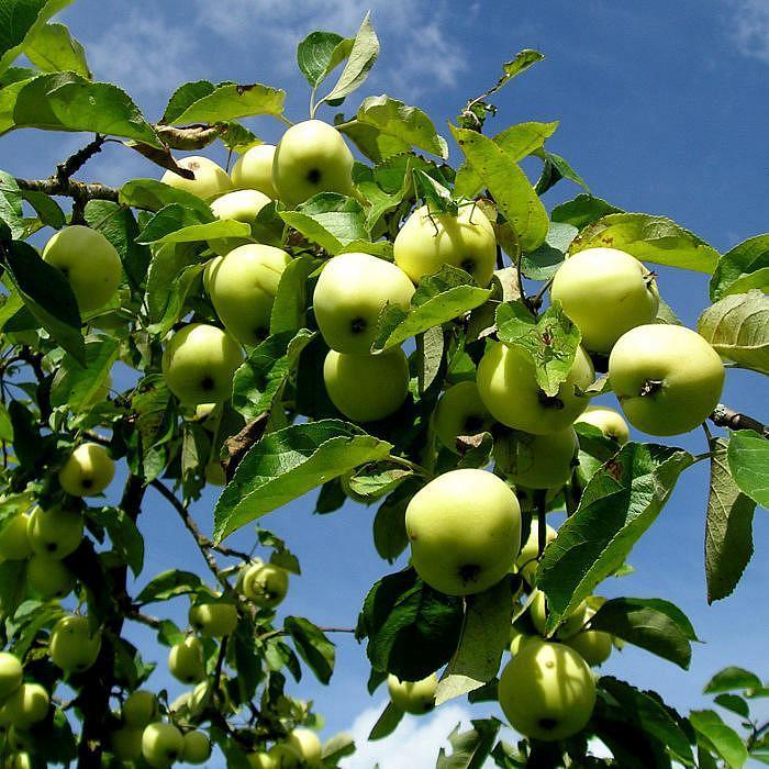 сорта ранних сладких яблонь фото тогда решила собрать